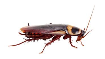 tratamiento cucarachas