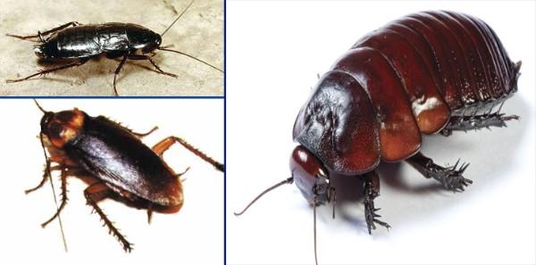 plaga de cucarachas