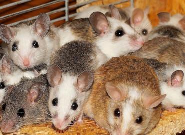 plaga de ratas y ratones